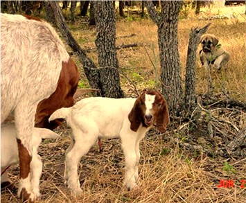 Pup keeping distance while goat is birthing