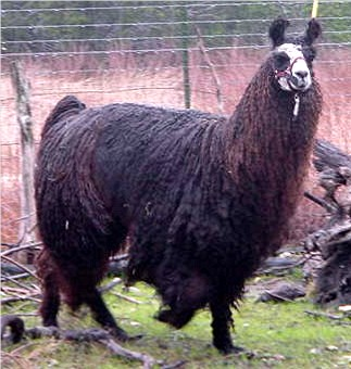 Mister Belafonte - Dark Brown/Black male with White Facial 