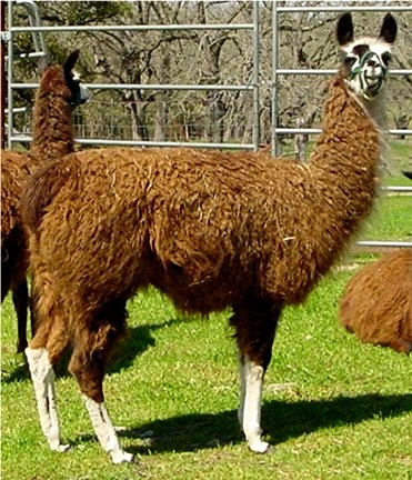 Llama Dam Lucky Hit Cleopatra Queen of Egypt at Lucky Hit Ranch