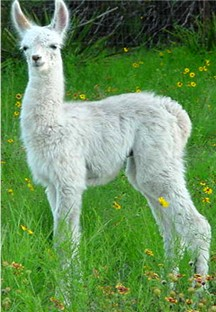 Link to Llamas For Sale Page