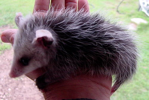 Orphan Opossum at Lucky Hit Ranch