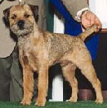 Link to Border Terrier Page