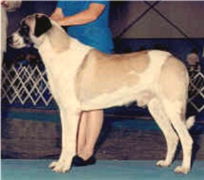AUSTRALIAN AND AKC CHAMPION COBANKOPEGI Ala (Connor)