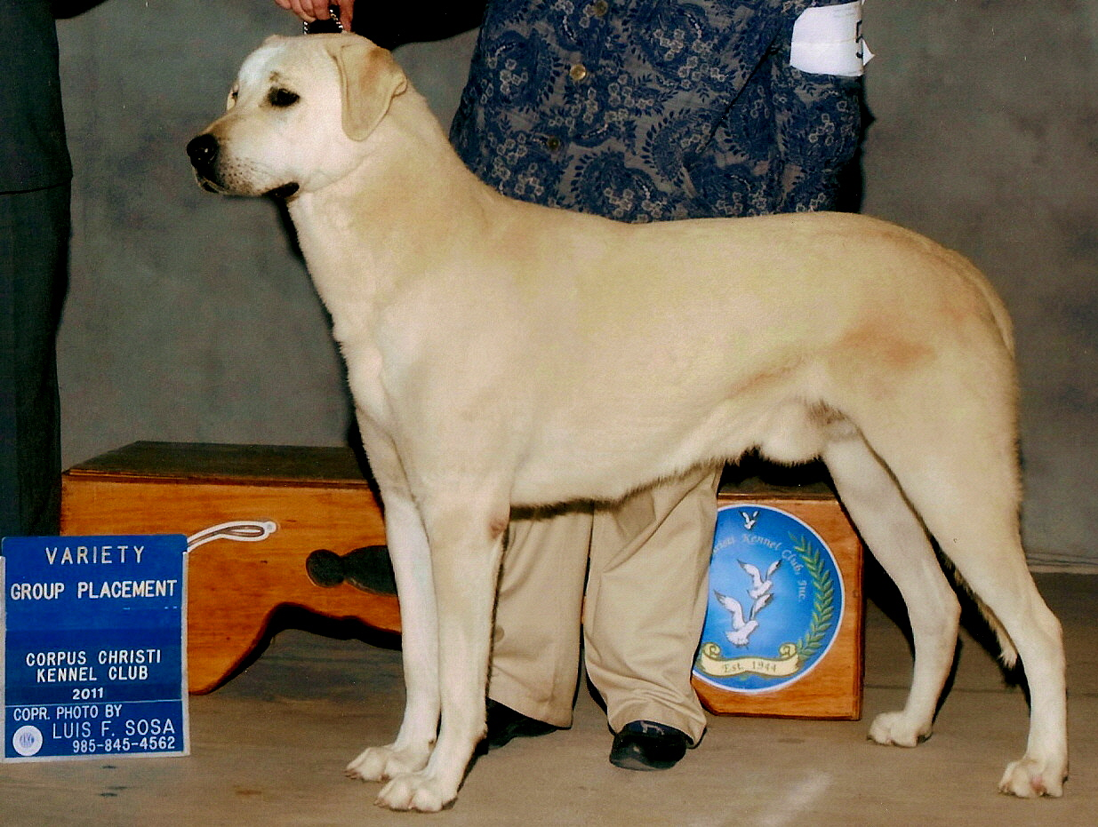 GRAND CHAMPION LUCKY HIT BEYAZ KUMRU (CALLUM) taking a GROUP PLACEMENT at the Corpus Christi Show in January 2011