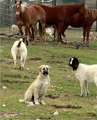 Anatolian Guardian Dogs - A Tale of Two Breeders - Byron with goats and horses