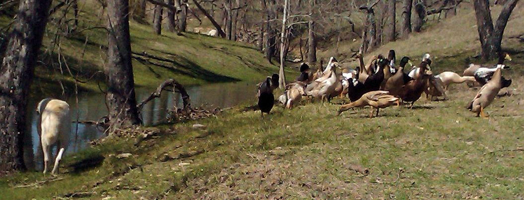 Lucky Hit's Shadow Kasif (Case) guarding Indian Runner Ducks in the big pasture on March 28, 2010 when he was almost nine