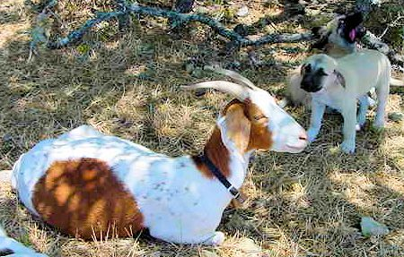 Two month old Lucky Hit's Shadow Kasif (Case) on July 13, 2001 -  Case always paid attention to his goats.