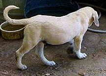Two month old Lucky Hit's Shadow Kasif (Case) on July 19, 2001 -  Case always had great front and rear angulation.