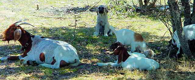 Two month old Lucky Hit's Shadow Kasif (Case) on July 22, 2001 -  Case in the shade with his goats.
