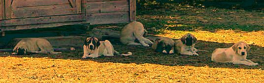 Two month old Lucky Hit's Shadow Kasif (Case) on August 1, 2001 -  Case, on left, with littermates (left to right) Beau, Kahn, Max, Seven, and Sam.