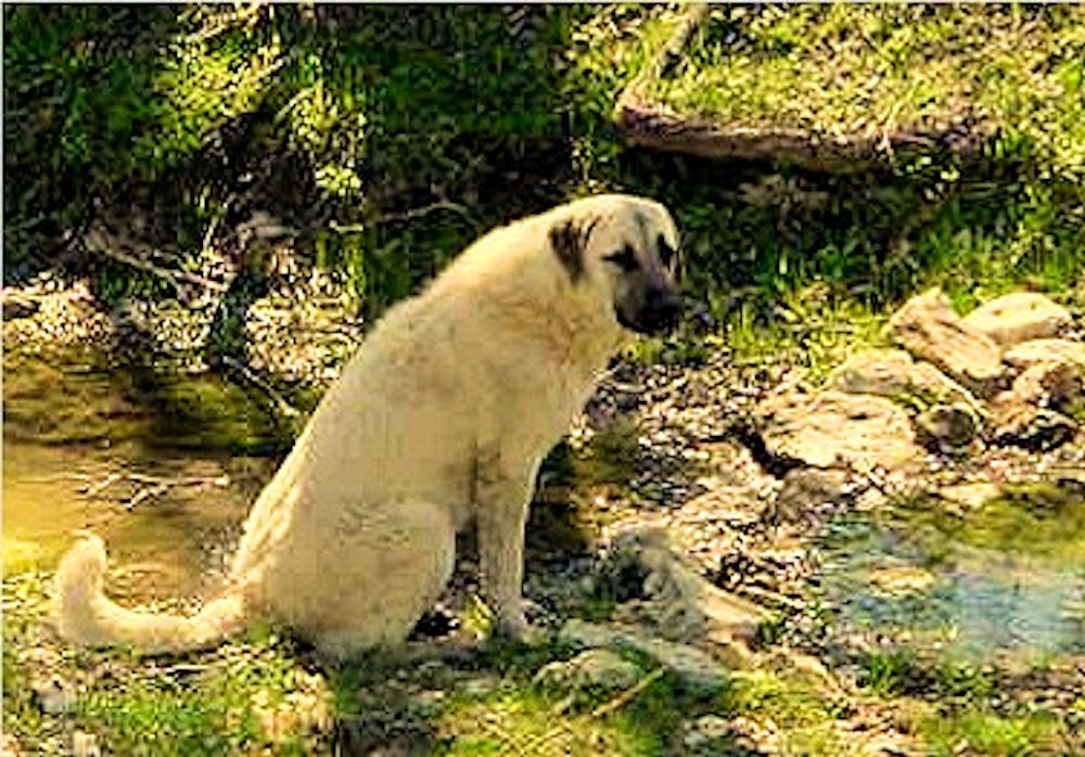 Eleven month old Lucky Hit's Shadow Kasif (Case) on April 8, 2002 -  Case at eleven months guarding the big pasture