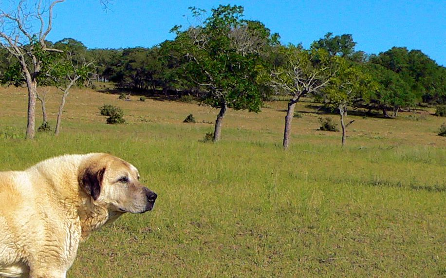 Thirteen year old Lucky Hit's Shadow Kasif (Case) - Still Guarding Full Time in the Big Pasture at Lucky Hit Ranch