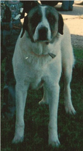Conard's White King (King)- Fantastic Working Dog for a West Texas Ranch - A Natural Guardian!