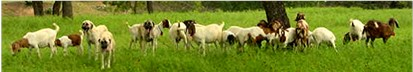 [2001 litter guarding goats in pasture during a rainstorm.]