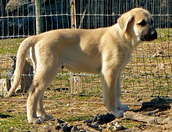 Cedar Rise Tupelo Honey (TUPE), Male Puppy, on 1/16/2015 from Yaman/Rana 11/8/2014 litter