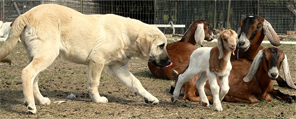 Four month old pup behaving properly with goats