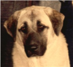 Seven at 11 months winning Best of Breed