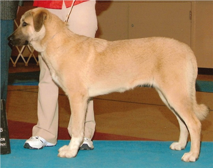 CHAMPION LUCKY HIT SHADOW LAVANTA WINNING BEST OF BREED AND A THREE POINT MAJOR AT SIX MONTHS!!!