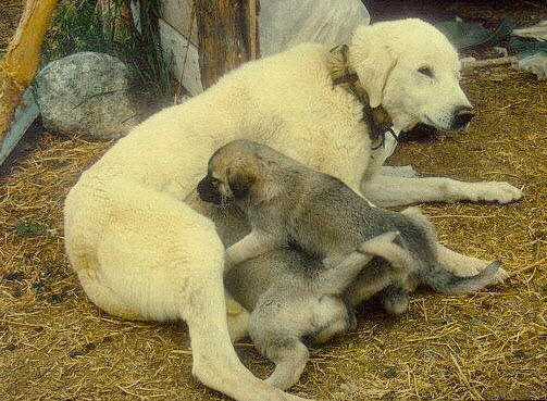Anatolians in Turkey - White (Biscuit and White?) Female with Dark Pups