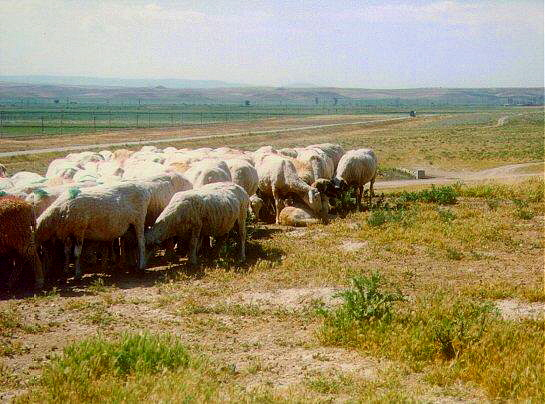 Anatolian in Turkey well loved by his sheep