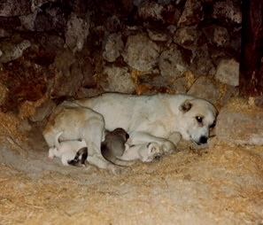 Anatolian in Turkey - Pinto female and pups