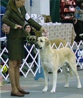 CHAMPION Birinci's Yahsi (Handsome) winning at the 2004 National Specialty