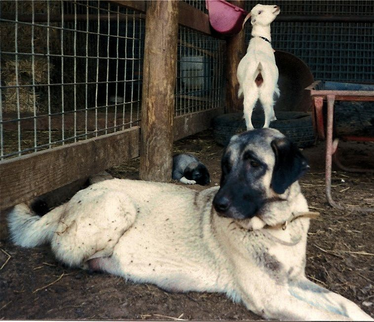 Zara on April 31, 1991 with one of her pups and one of her goats