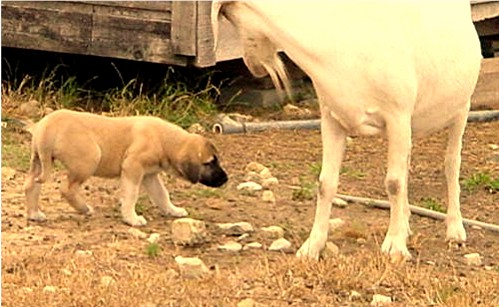 Pup walks by goat with the proper submissive attitude